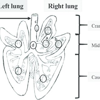 Anatomy of the pig lung. Diagram from C.L. Pavaux [26