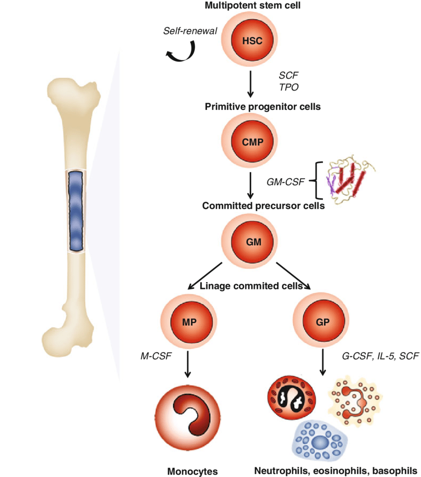 hight resolution of gm csf relationship with haematopoiesis formation of blood cells progress from a haematopoietic stem