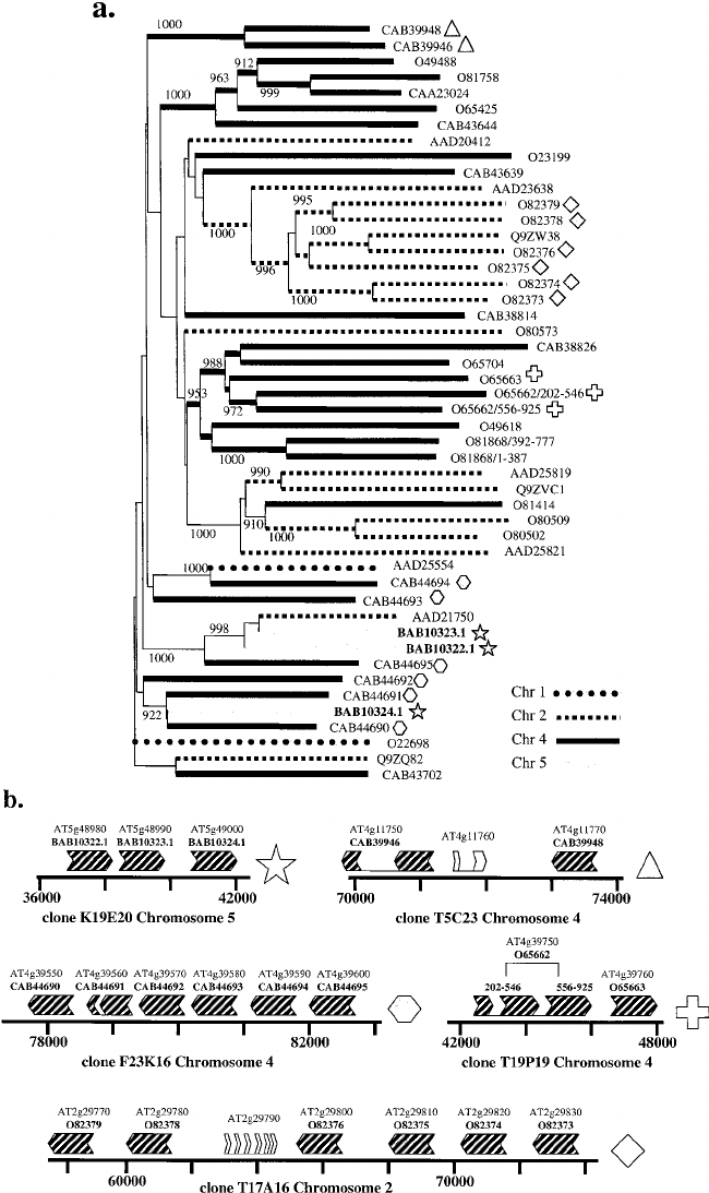 Distance tree and genomic organization of the family of