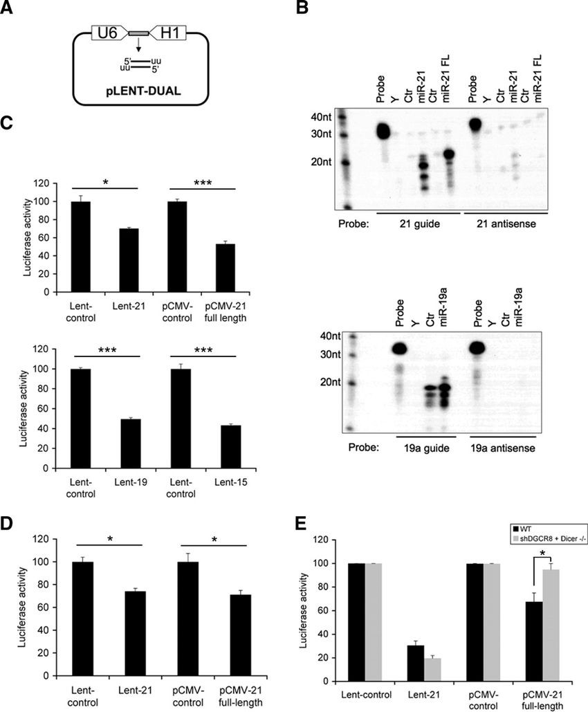 Mature miRNAs expressed under the control of dual