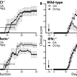 (PDF) CD8 T Cells Are Required For Glatiramer Acetate