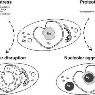 (PDF) The Nucleolus as a Stress Response Organelle