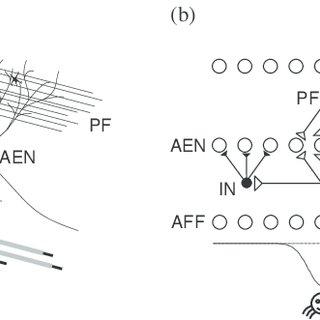 (PDF) Evolution of the cerebellum as a neuronal machine