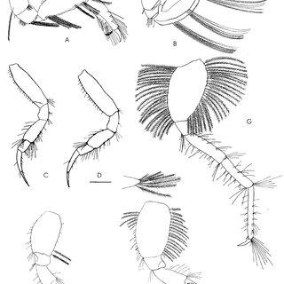 Corophium urdaibaiense sp. nov. (A) Female second antenna