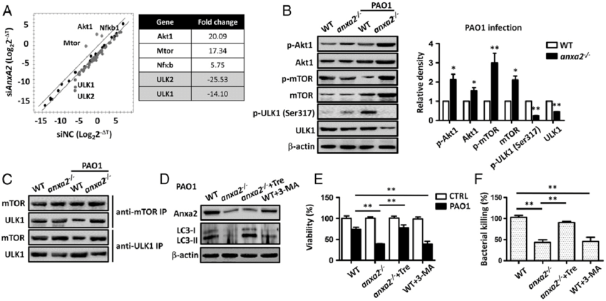 AnxA2 deficiency impaired PAO1-induced autophagy through