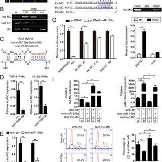 (PDF) PU.1-Regulated Long Noncoding RNA lnc-MC Controls