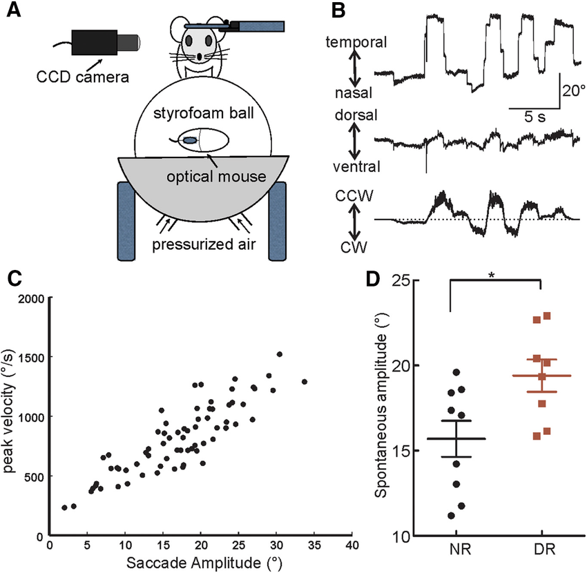 Larger self-generated saccades in DR mice. A, A schematic