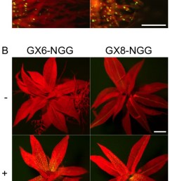 fluorescence images of protonemata a and gametophores b of gx6 ngg [ 636 x 1732 Pixel ]
