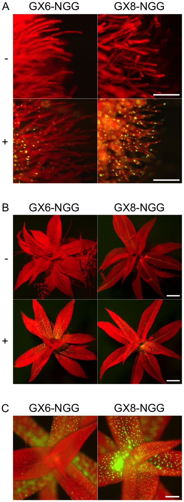 hight resolution of fluorescence images of protonemata a and gametophores b of gx6 ngg