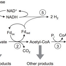 A simplified version of predicted metabolic pathways for