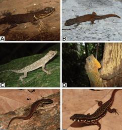 lizard species recorded from santa rita farm alto alegre dos parecis download scientific diagram [ 850 x 961 Pixel ]