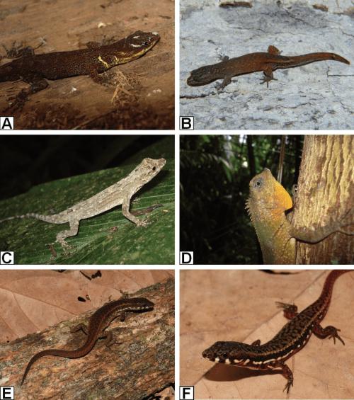 small resolution of lizard species recorded from santa rita farm alto alegre dos parecis download scientific diagram