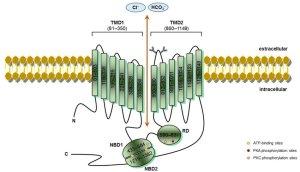 CFTR schematic structure – Cystic fibrosis transmembrane conductance | Download Scientific