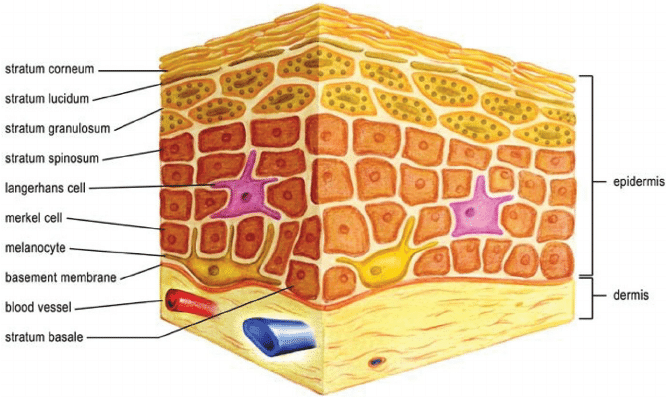 dermis layer diagram 12vdc 30 40a relay wiring normal skin structure showing layers of and epidermis