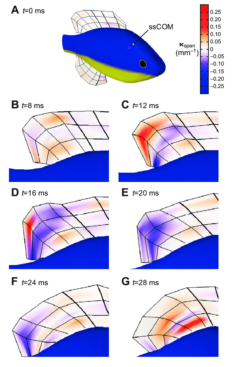 medium resolution of reconstructed bluegill median fins the digitally reconstructed bluegill displaying the spanwise curvature across the median