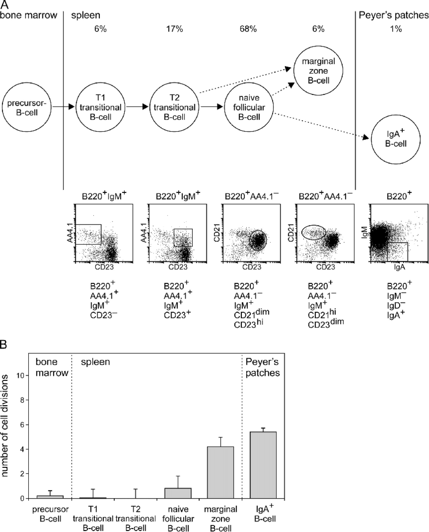 hight resolution of replication history of mouse b cell subsets a scheme of the differentiation stages