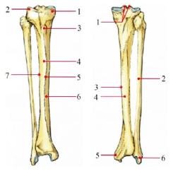 Tibia And Fibula Blank Diagram Chevy 350 Wiring Anterior Schematic Distal Left Leg Diagrams Loseright