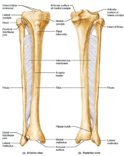 tibia and fibula blank diagram blue bird bus wiring bone 13 12 kenmo lp de the right 6 download scientific rh researchgate net unlabeled tibula