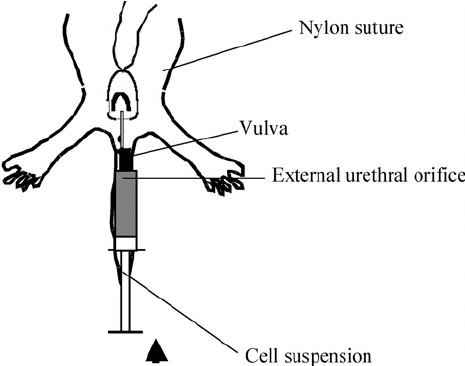 The schematic ventral view of the mouse into which the