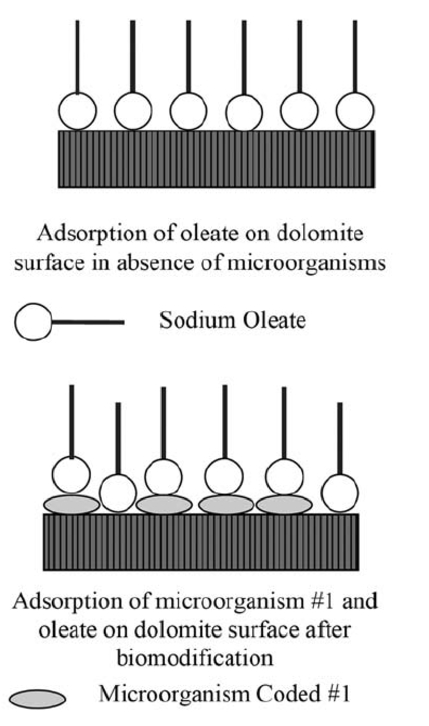 Adsorption of sodium oleate and microorganism #1 on