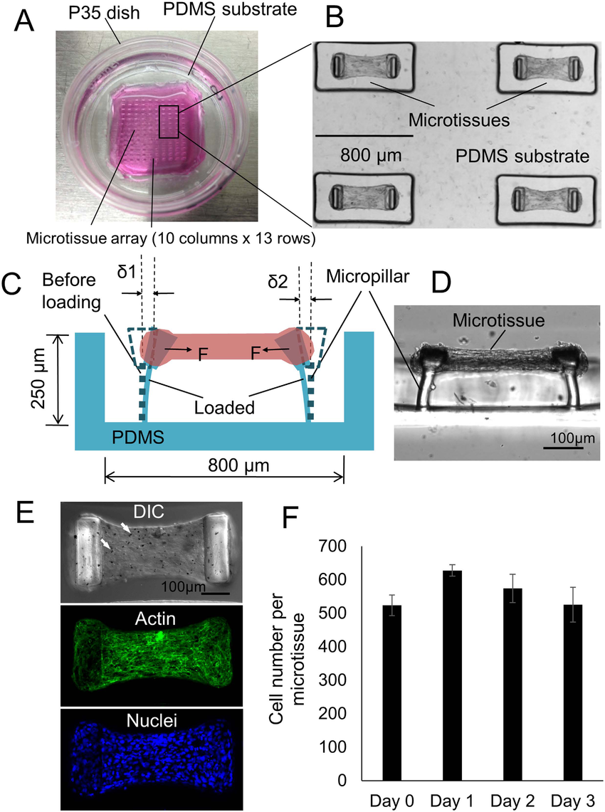 hight resolution of overview of the engineered lung microtissue array device a a p35 petri