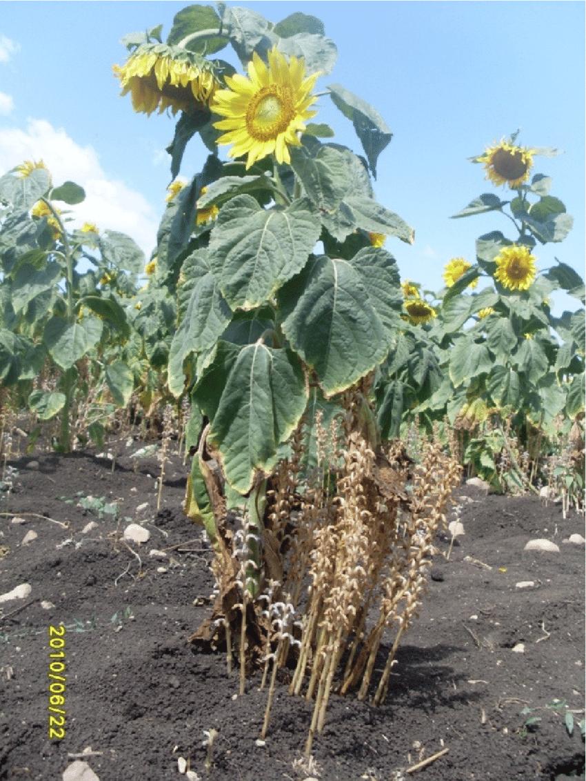 Emerged . Cumana Inflorescents Parasitizing Sunflower