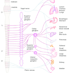 pathways of visceral sensory innervation afferent fibers that mediate pain travel with autonomic nerve system [ 841 x 1014 Pixel ]