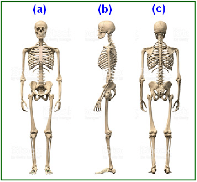 human bone structure diagram wiring for ignition switch and skeletal system of body a anterior front side