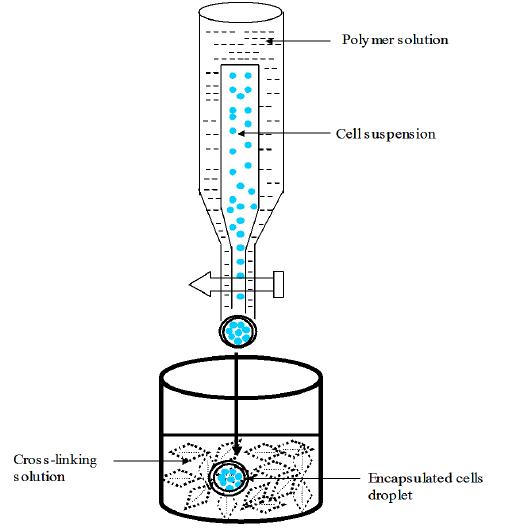 Schematic representation of encapsulation of cells using