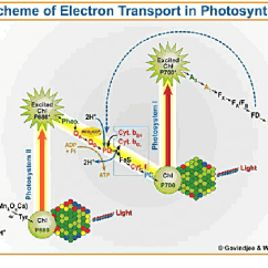 Photosynthesis Z Scheme Diagram Honda Z50 Wiring Of Electron Transport In The Picture Provided By Govindjee And Wilbert