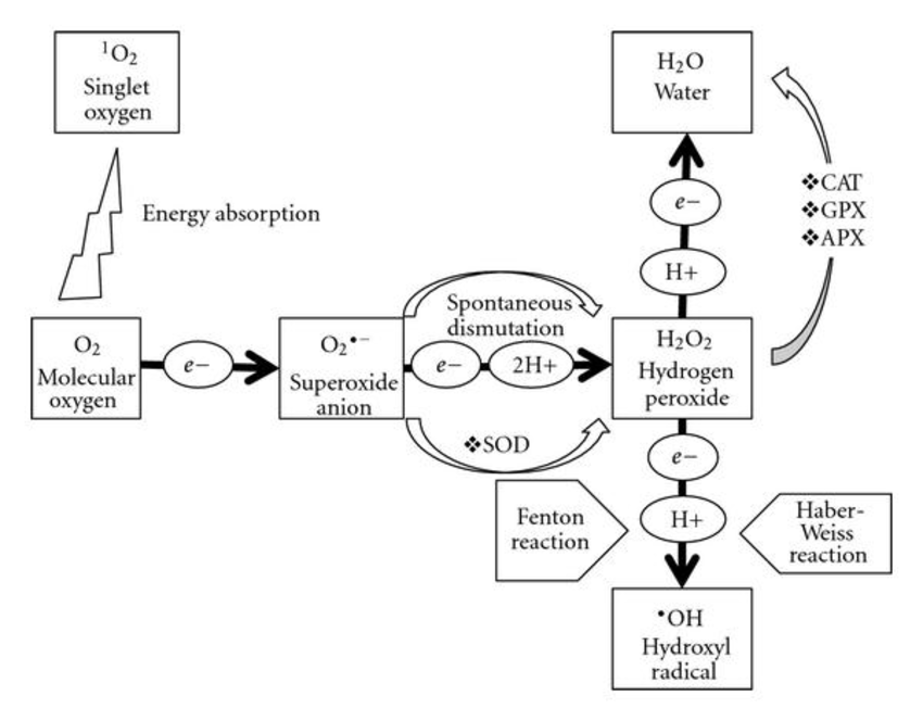 Schematic representation of generation of reactive oxygen