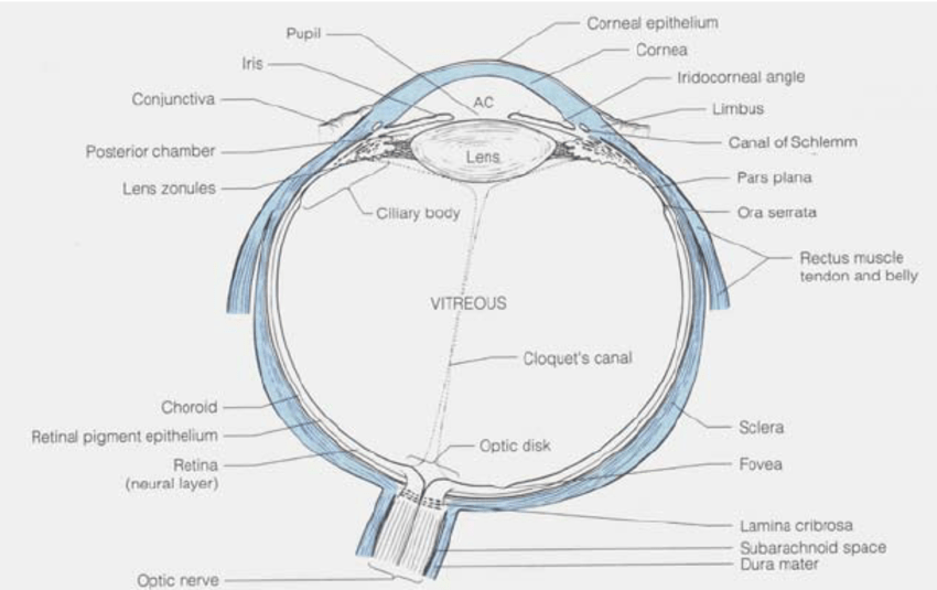structure of human eye with diagram murray lawn mower ignition switch wiring the in horizontal section showing major structures download scientific