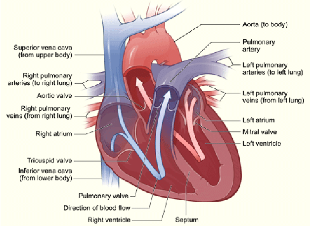 human heart and lungs diagram the supreme court 1 cross section of a arrow pointing to upright indicates direction oxygen poor blood flowing from body