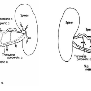 Diagram of the intrahepatic distribution of the bile ducts