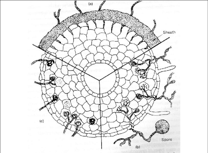 6 Types of mycorrhizae: (a) ectotrophic mycorrhiza of