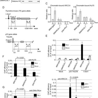The fidelity of end-joining in SMARCAL1 mutant cells. (A