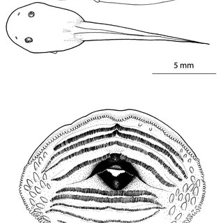 Oral disc (A), lateral (B) and dorsal (C) view of a Gosner