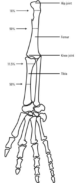 Drawing of alligator leg skeleton showing the measuring
