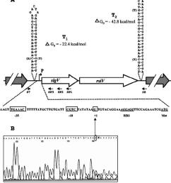 schematic representation of the genetic organization of the sigv rsiv chromosomal region of e  [ 850 x 967 Pixel ]
