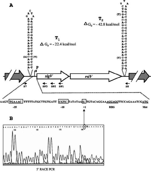 small resolution of schematic representation of the genetic organization of the sigv rsiv chromosomal region of e