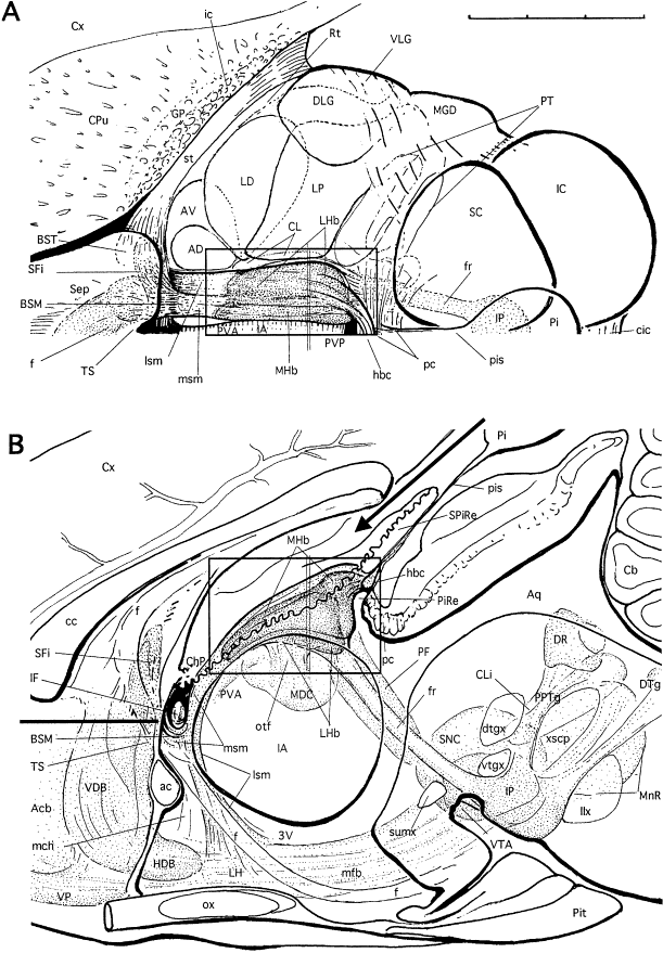 Graphic reconstructions of the habenular complex in the