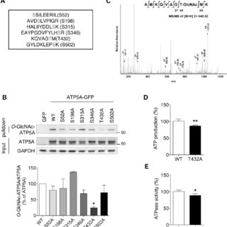 (PDF) Mitochondrial ATP synthase activity is impaired by