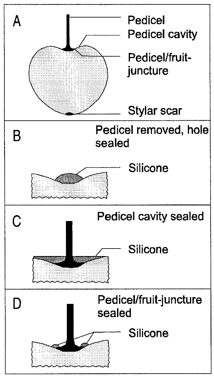 medium resolution of a schematic drawing of sweet cherry fruit detailed view of b diagram