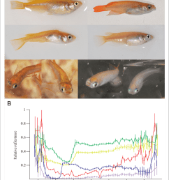 morphological differences between individual medaka fish a medaka individuals may differ in pattern [ 850 x 1115 Pixel ]