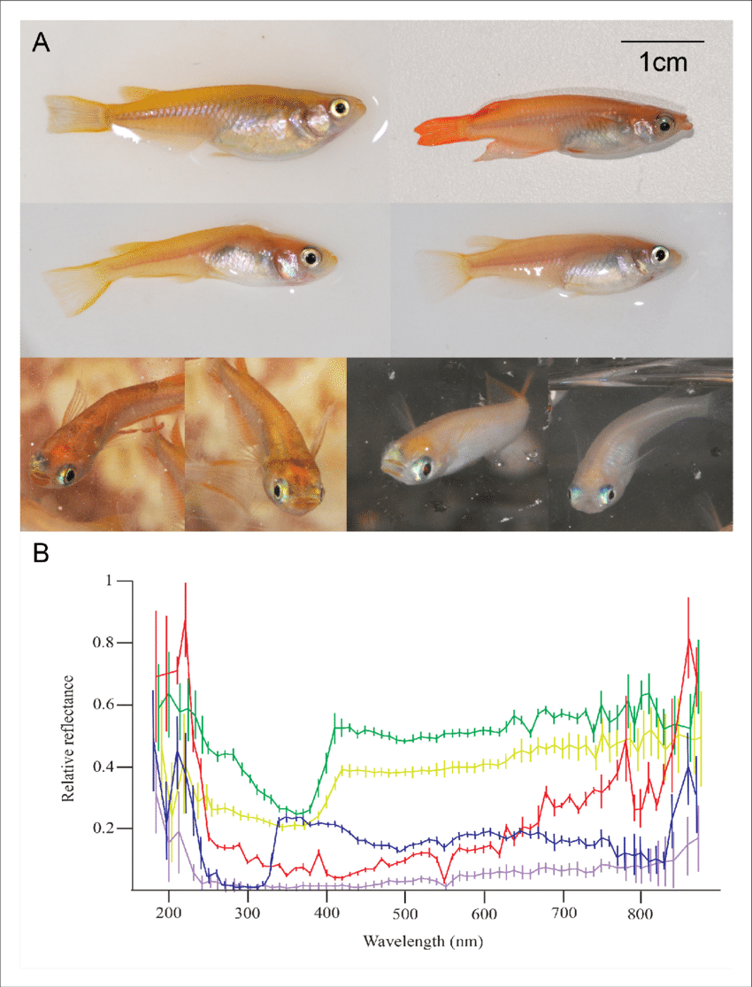 medium resolution of morphological differences between individual medaka fish a medaka individuals may differ in pattern