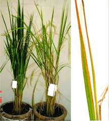 Rice plants showing symptoms of bacterial leaf blight