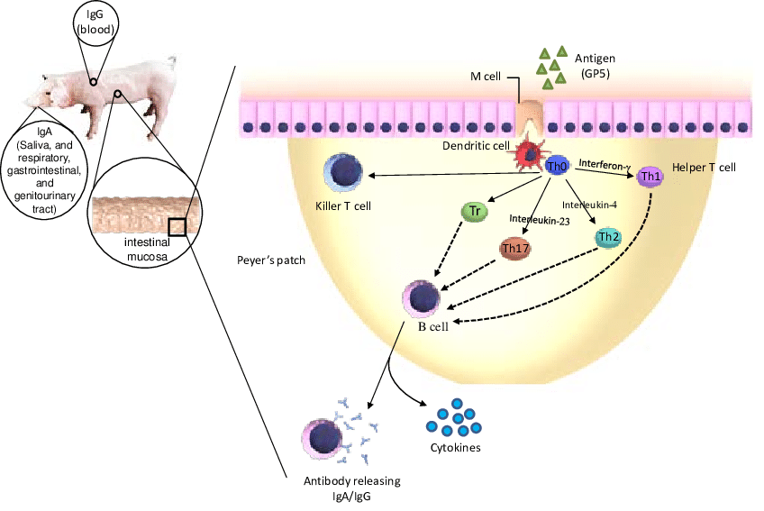 Proposed mechanism of action of oral vaccines B cell: specific type of... | Download Scientific Diagram