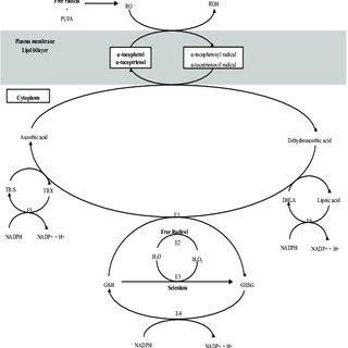(PDF) Selenium and Vitamin E for Prostate Cancer