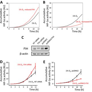 Effect of prolyl-hydroxylases inhibition by DMOG or