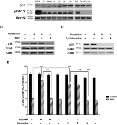 putrescine mediated induction of p35 expression and reversal of mag mediated inhibition are translation [ 850 x 1009 Pixel ]